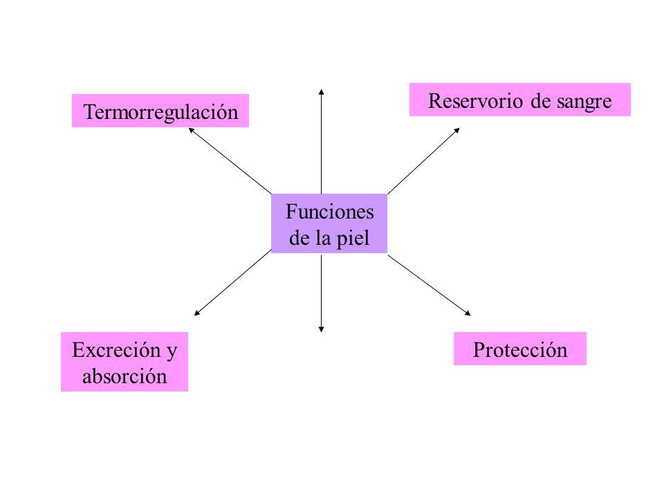Reservorio de sangre Termorregulación Funciones de la piel Excreción y absorción Protección