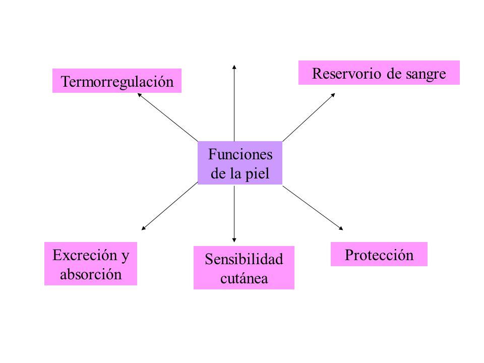 Reservorio de sangre Termorregulación. Funciones de la piel.