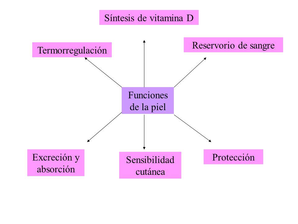 Síntesis de vitamina D Reservorio de sangre. Termorregulación. Funciones de la piel. Excreción y absorción.