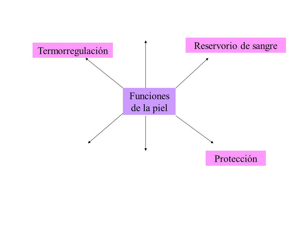 Reservorio de sangre Termorregulación Funciones de la piel Protección