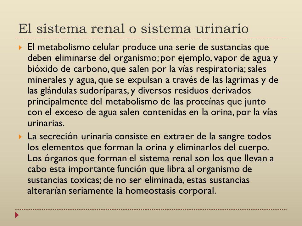 El sistema renal o sistema urinario
