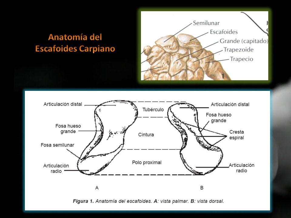 Fantástico Anatomía Del Escafoides Galería - Anatomía de Las ...