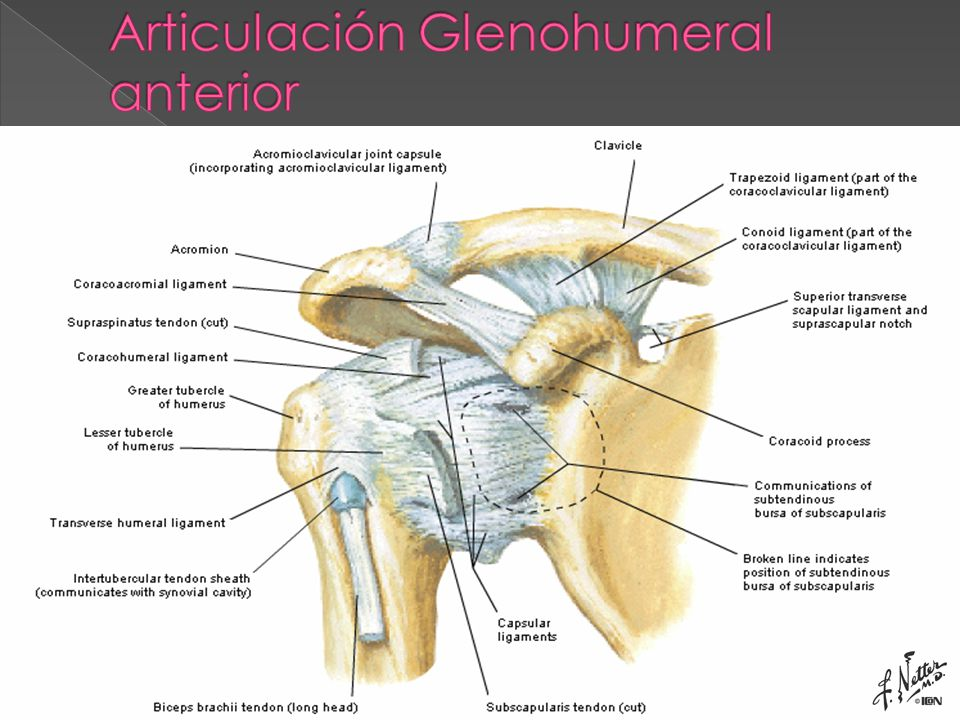 Único Articulación Glenohumeral Ilustración - Anatomía de Las ...