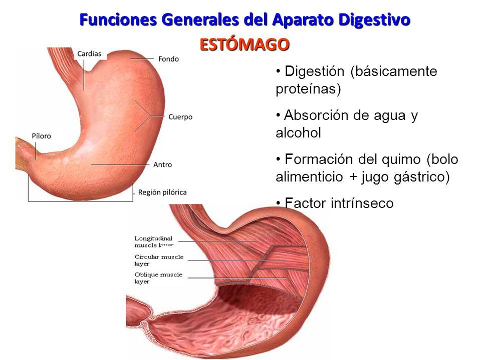 Vistoso Anatomía Estómago Ovejas Patrón - Imágenes de Anatomía ...