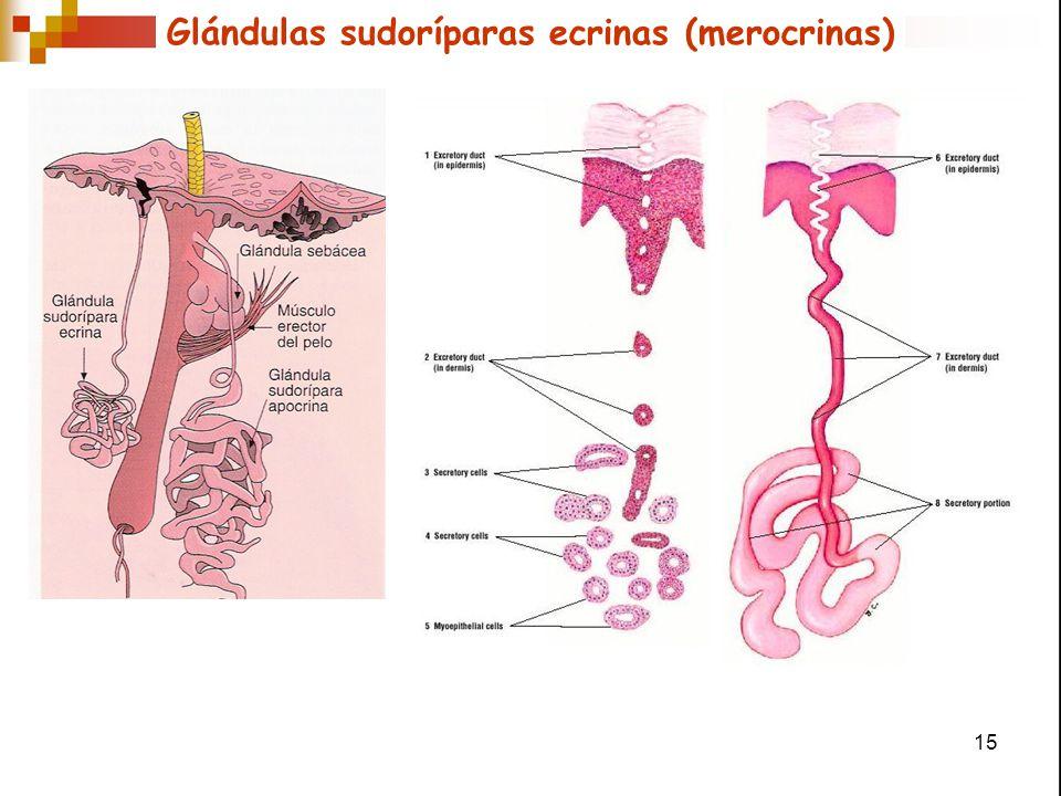 Glándulas sudoríparas ecrinas (merocrinas)