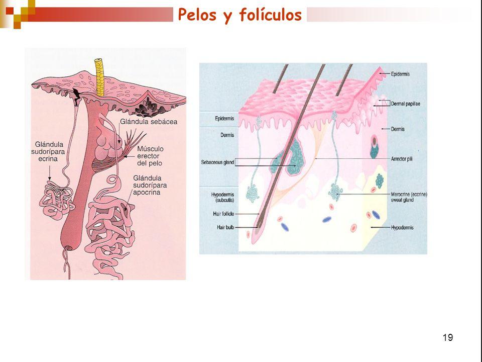 Pelos y folículos