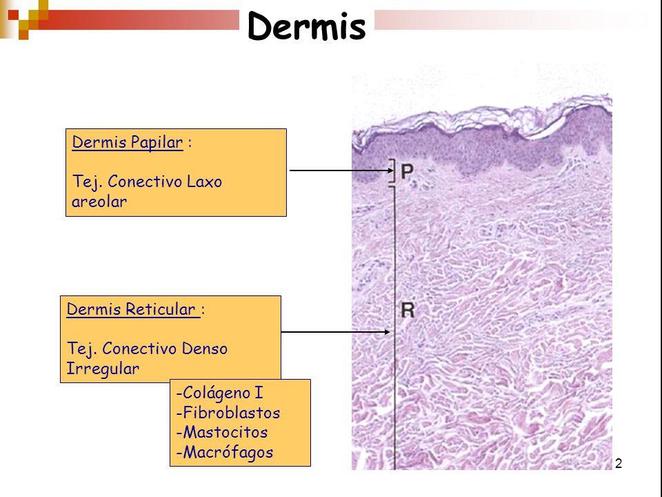 Dermis Dermis Papilar : Tej. Conectivo Laxo areolar Dermis Reticular :