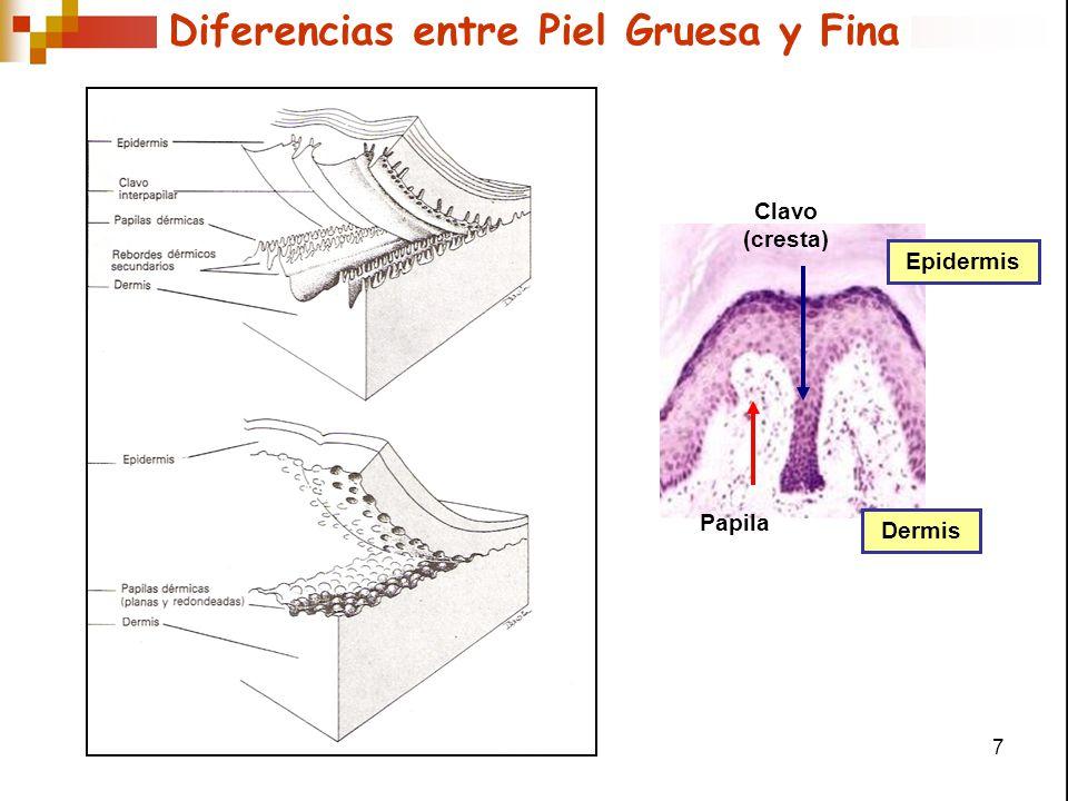 Diferencias entre Piel Gruesa y Fina