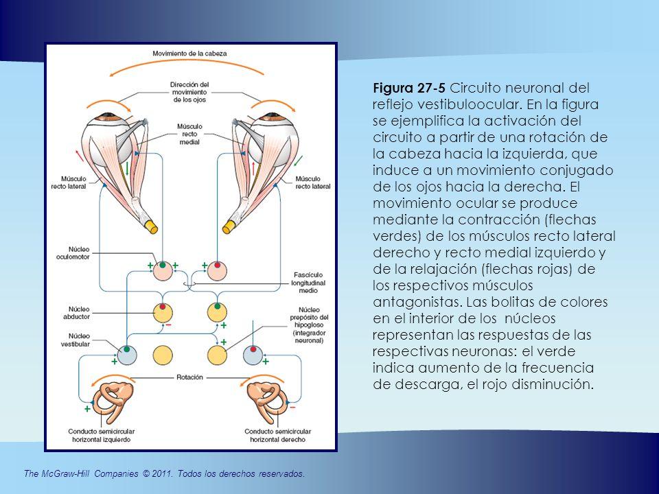 Circuito Neuronal : CapÍtulo movimientos oculares ppt video online descargar