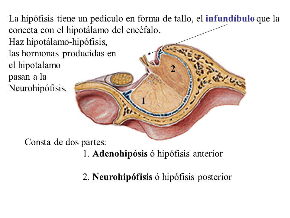 La hipófisis tiene un pedículo en forma de tallo, el infundíbulo que la conecta con el hipotálamo del encéfalo.