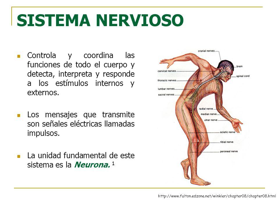 El sistema nervioso central: El encéfalo y la médula espinal - ppt ...