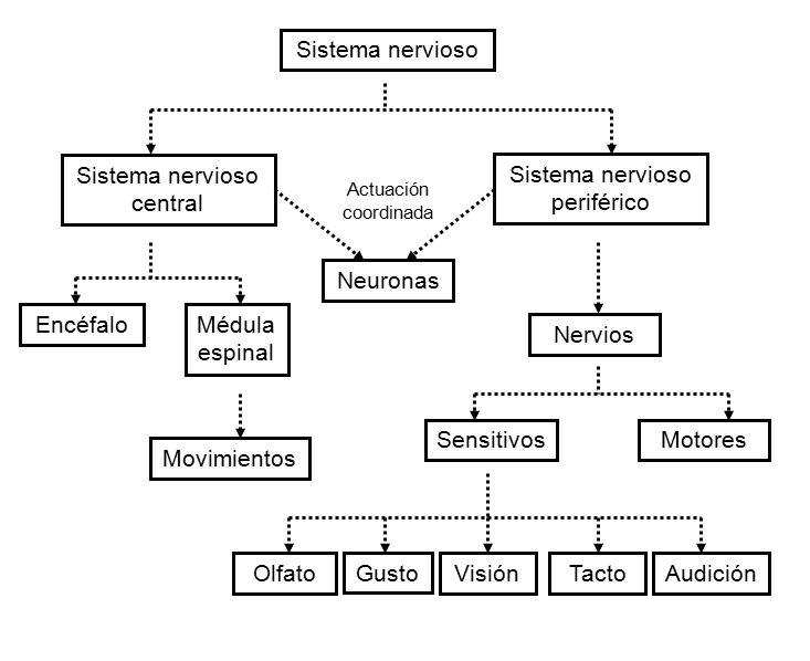 Contemporáneo Diagrama Del Sistema Nervioso Central Imagen ...