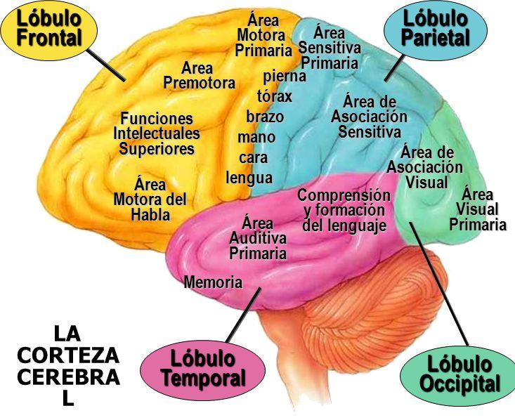 Sistema nervioso organizaci n y funci n ppt descargar for Areas de cocina y sus funciones