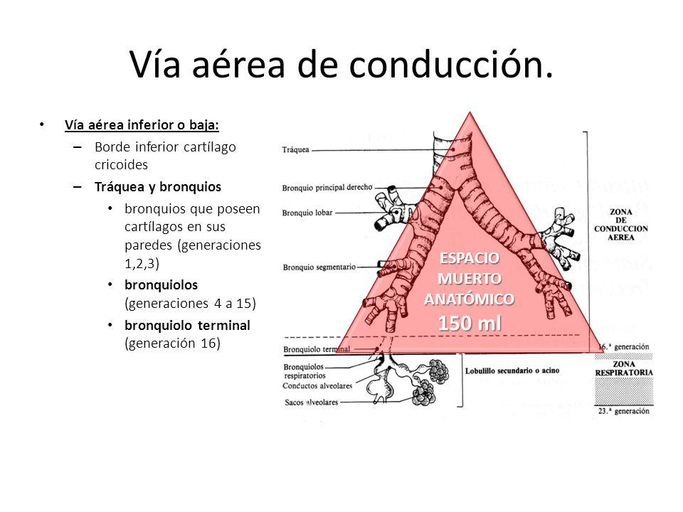 Bonito Inferior Anatomía De Las Vías Respiratorias Foto - Imágenes ...