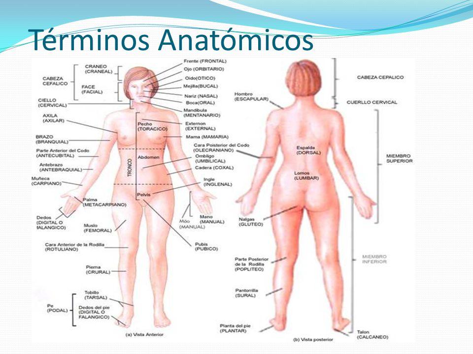 Asombroso Anatomía Términos Direccionales Juego Regalo - Anatomía de ...
