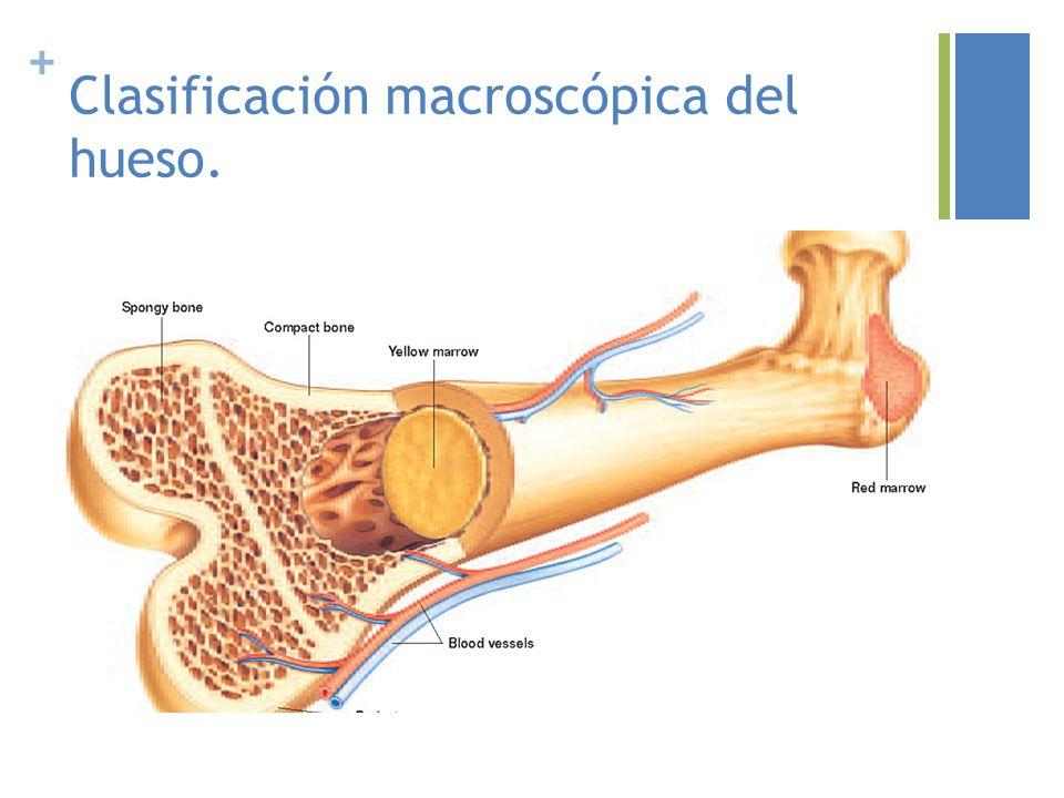 Lujoso Anatomía Microscópica De Hueso Compacto Ornamento - Imágenes ...