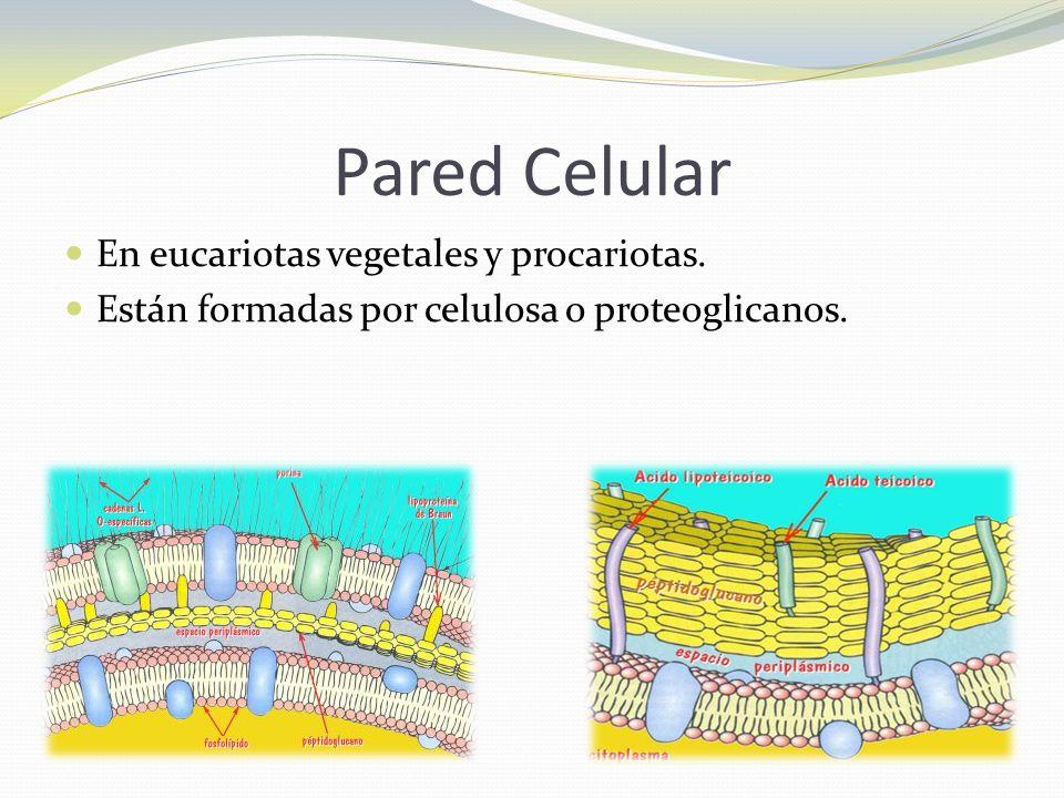 Pared Celular En eucariotas vegetales y procariotas.