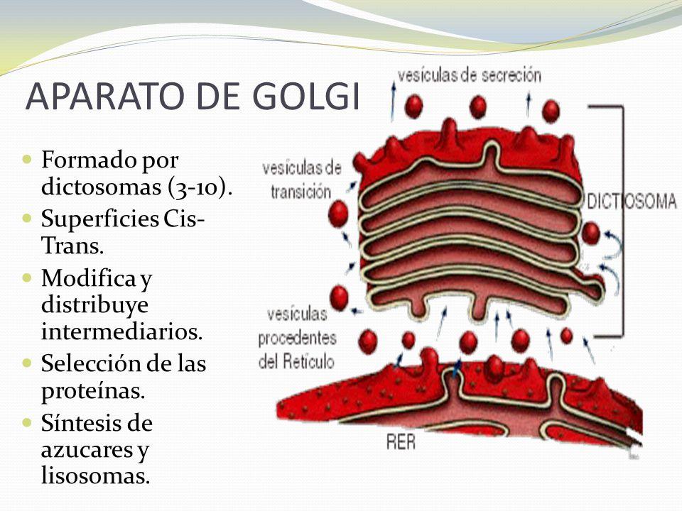 APARATO DE GOLGI Formado por dictosomas (3-10). Superficies Cis-Trans.