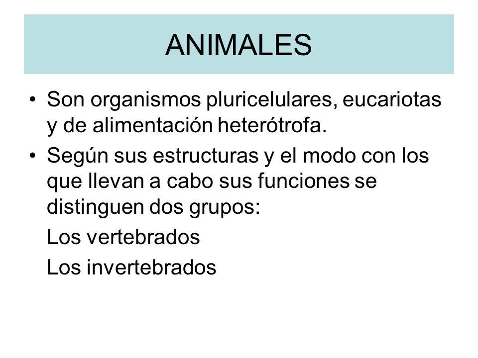 ANIMALES Son organismos pluricelulares, eucariotas y de alimentación heterótrofa.