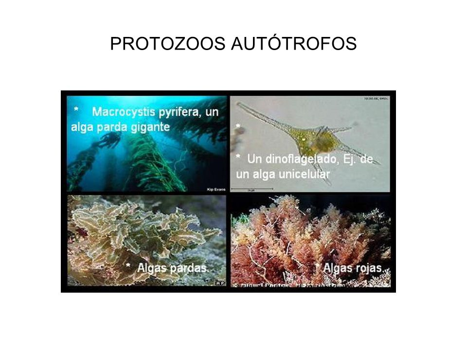 PROTOZOOS AUTÓTROFOS
