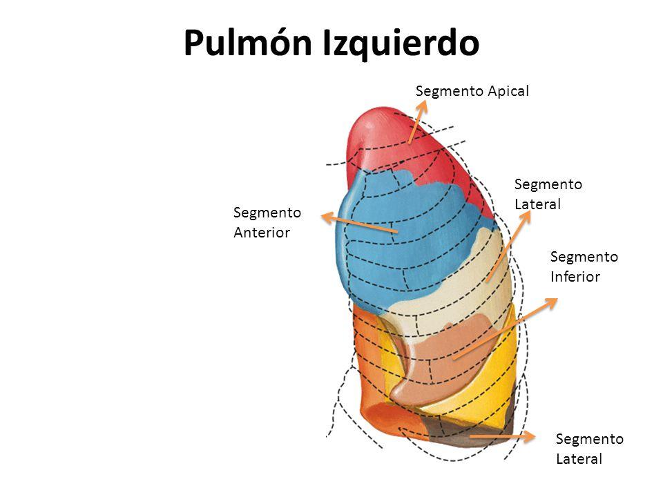 Excelente Pulmon Izquierdo Elaboración - Imágenes de Anatomía Humana ...