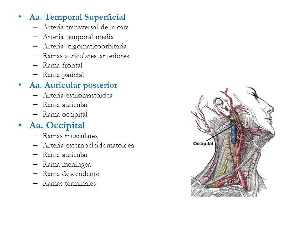Asombroso Anatomía De La Arteria Temporal Superficial Imagen ...