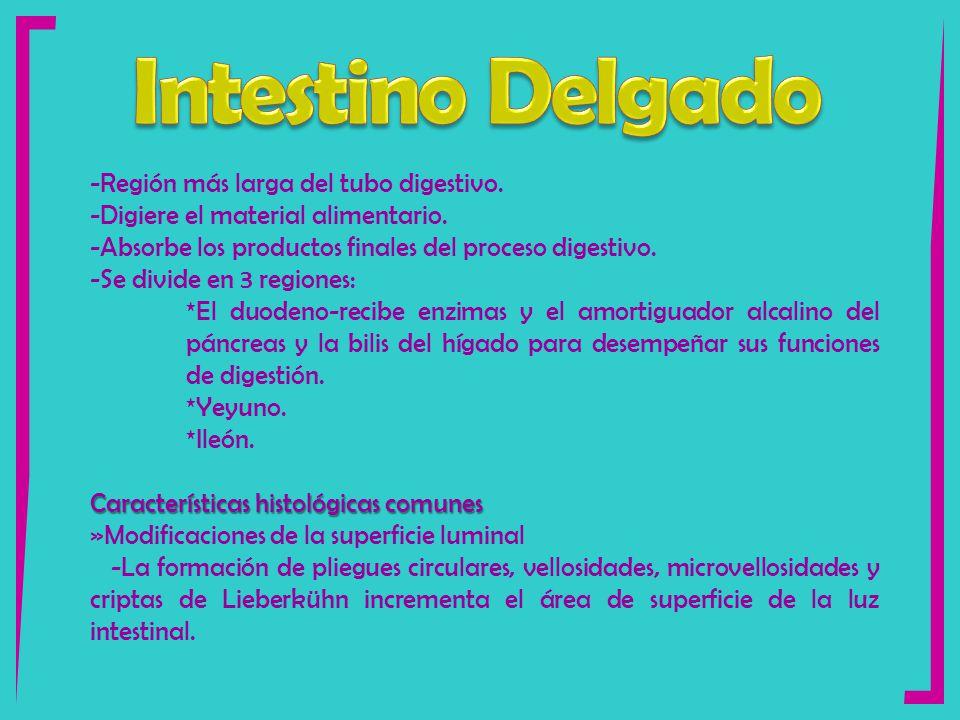 Bonito área De Superficie De Intestino Delgado Bandera - Anatomía de ...