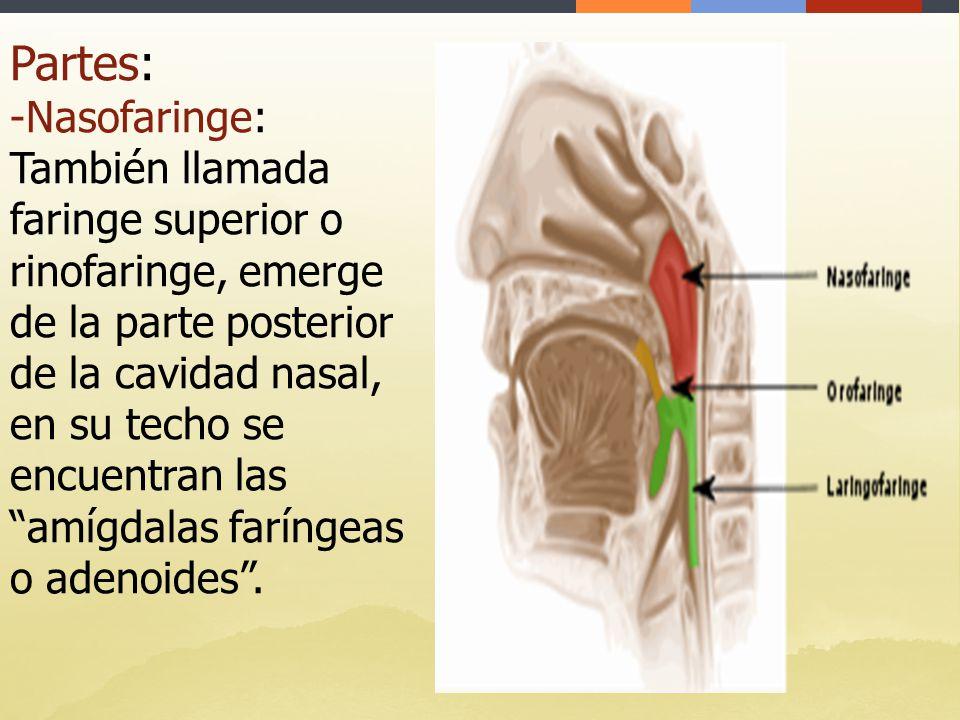 Atractivo Anatomía De Las Amígdalas Y Adenoides Motivo - Imágenes de ...