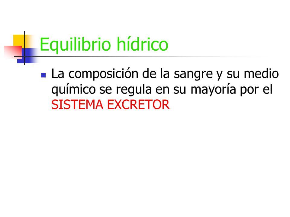 Equilibrio hídrico La composición de la sangre y su medio químico se regula en su mayoría por el SISTEMA EXCRETOR.