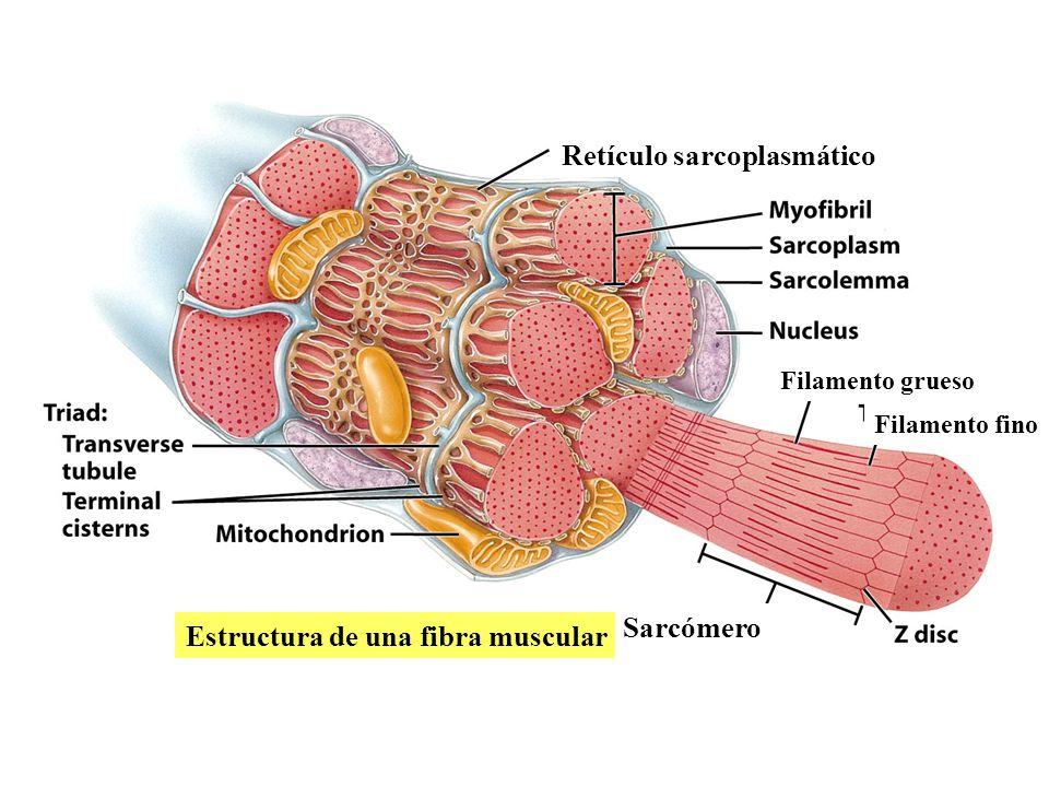Perfecto Una Célula Muscular Embellecimiento - Anatomía de Las ...