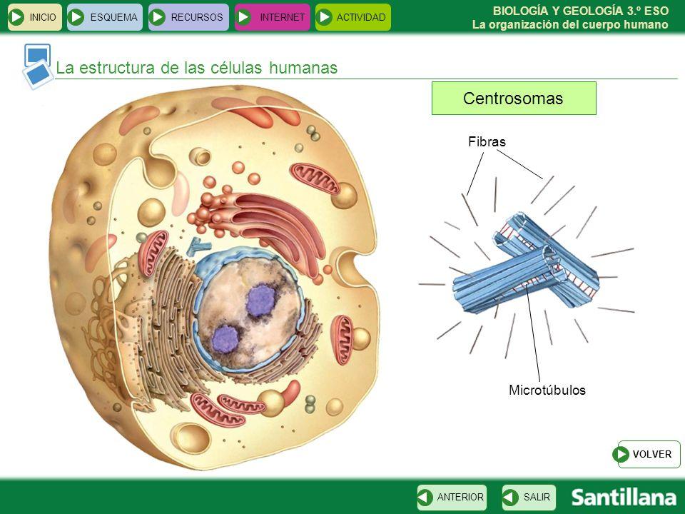 La estructura de las células humanas