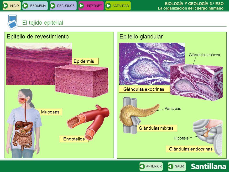 Epitelio de revestimiento Epitelio glandular