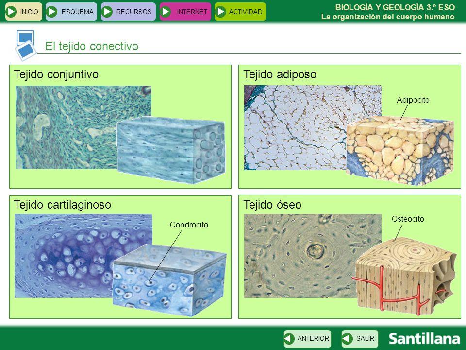 El tejido conectivo Tejido conjuntivo Tejido adiposo