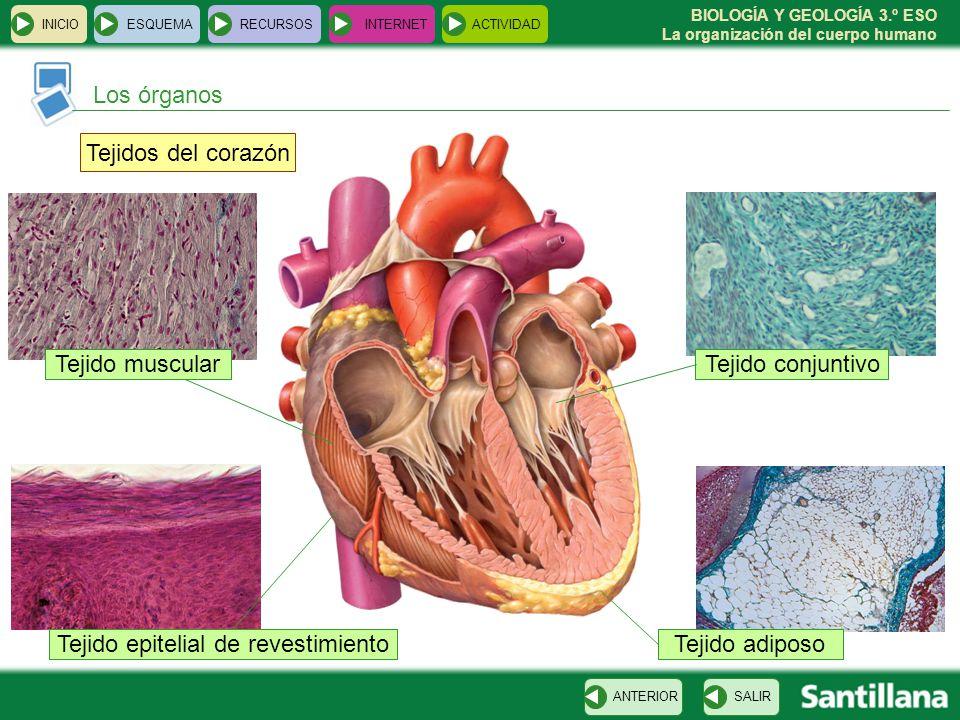 Dorable Hembra Diagrama De Los órganos Del Cuerpo Humano ...