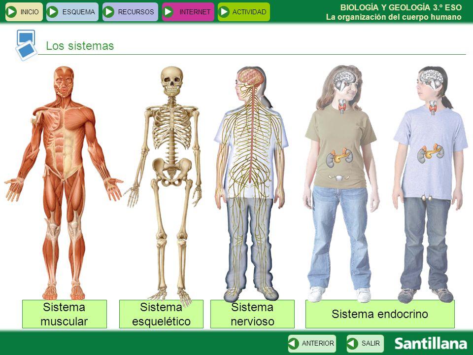 Los sistemas Sistema muscular Sistema esquelético Sistema nervioso