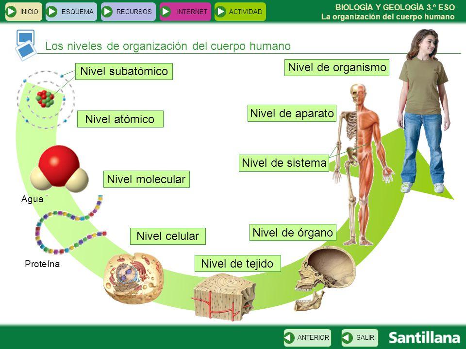 Los niveles de organización del cuerpo humano