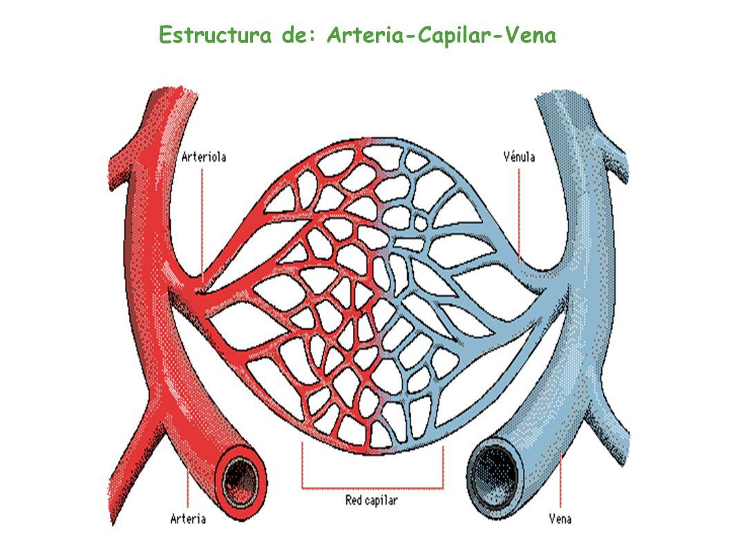Arterias-Venas-Capilares - ppt descargar