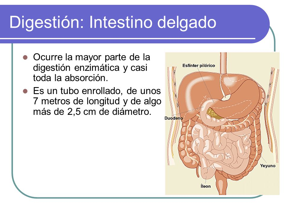 Asombroso La Digestión En El Intestino Grueso Molde - Anatomía de ...