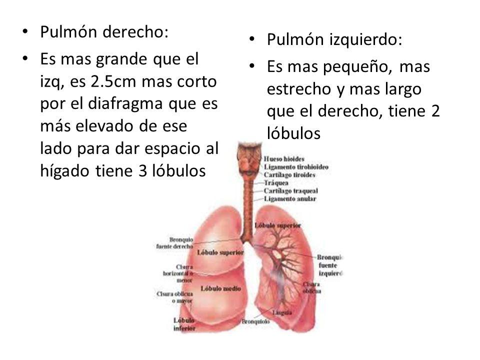 Anatomia Del Aparato Respiratorio Ppt Video Online Descargar