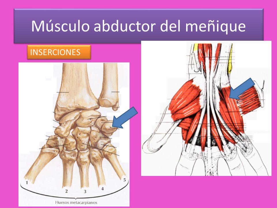 Vistoso Músculo Abductor Modelo - Imágenes de Anatomía Humana ...