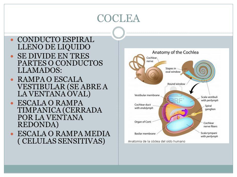 Asombroso Anatomía De La Cóclea Patrón - Imágenes de Anatomía Humana ...