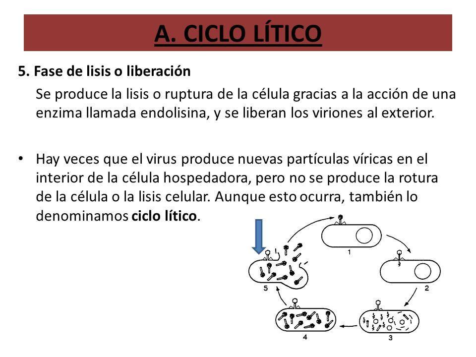 A. CICLO LÍTICO 5. Fase de lisis o liberación