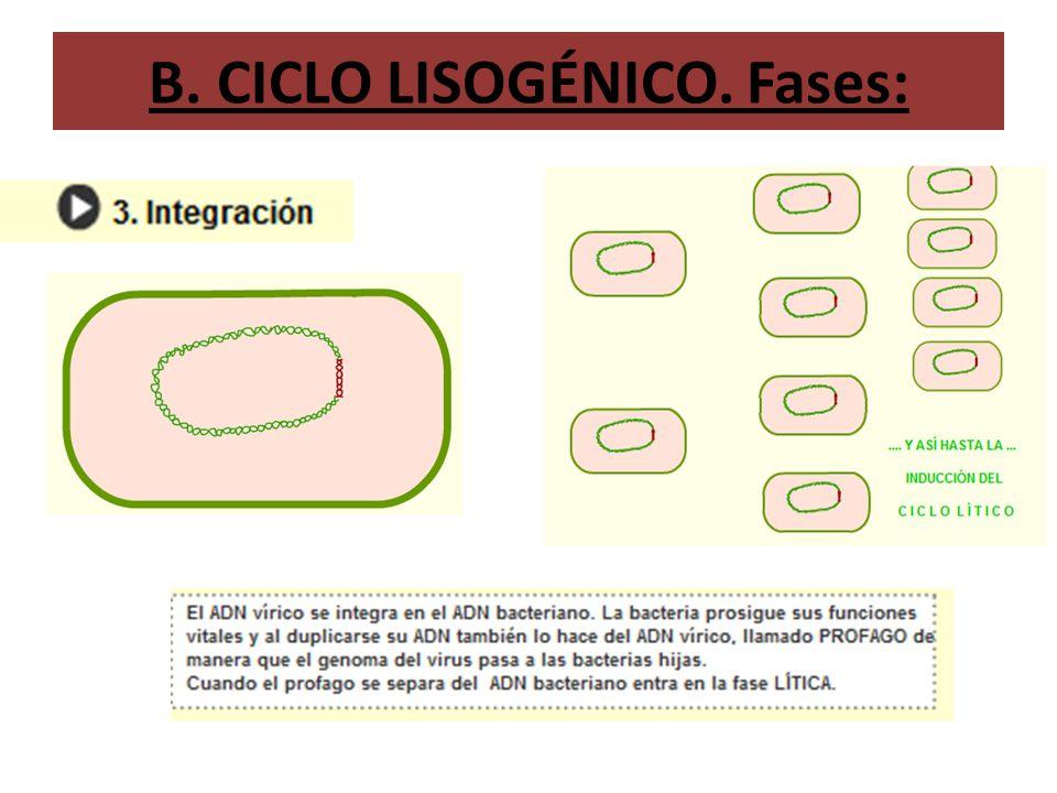B. CICLO LISOGÉNICO. Fases: