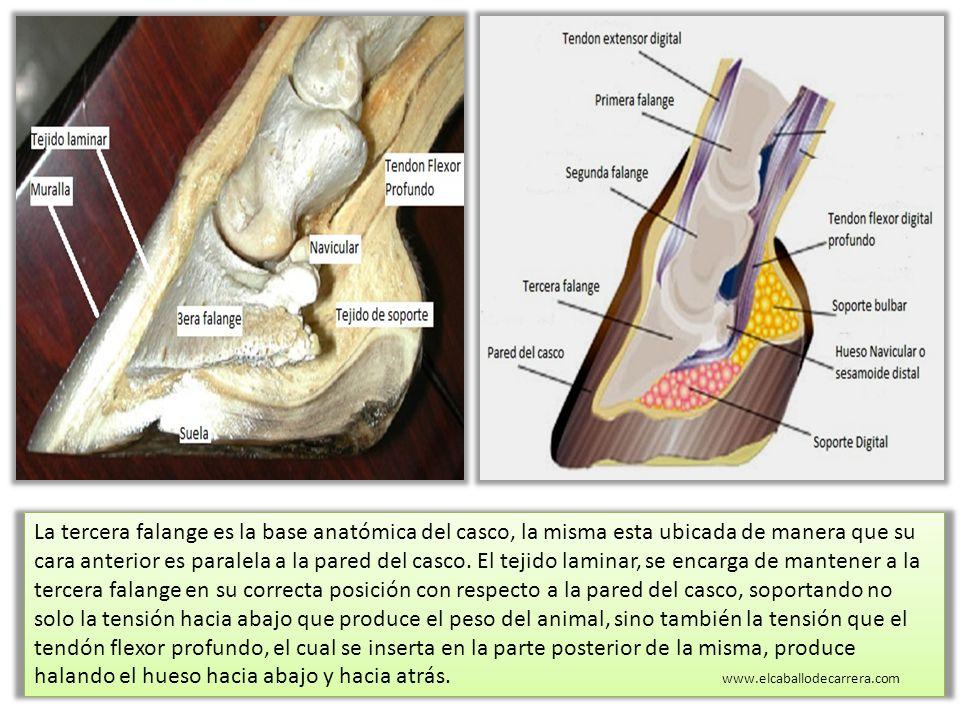 Dorable Anatomía Del Casco De Caballo Y La Pierna Componente ...