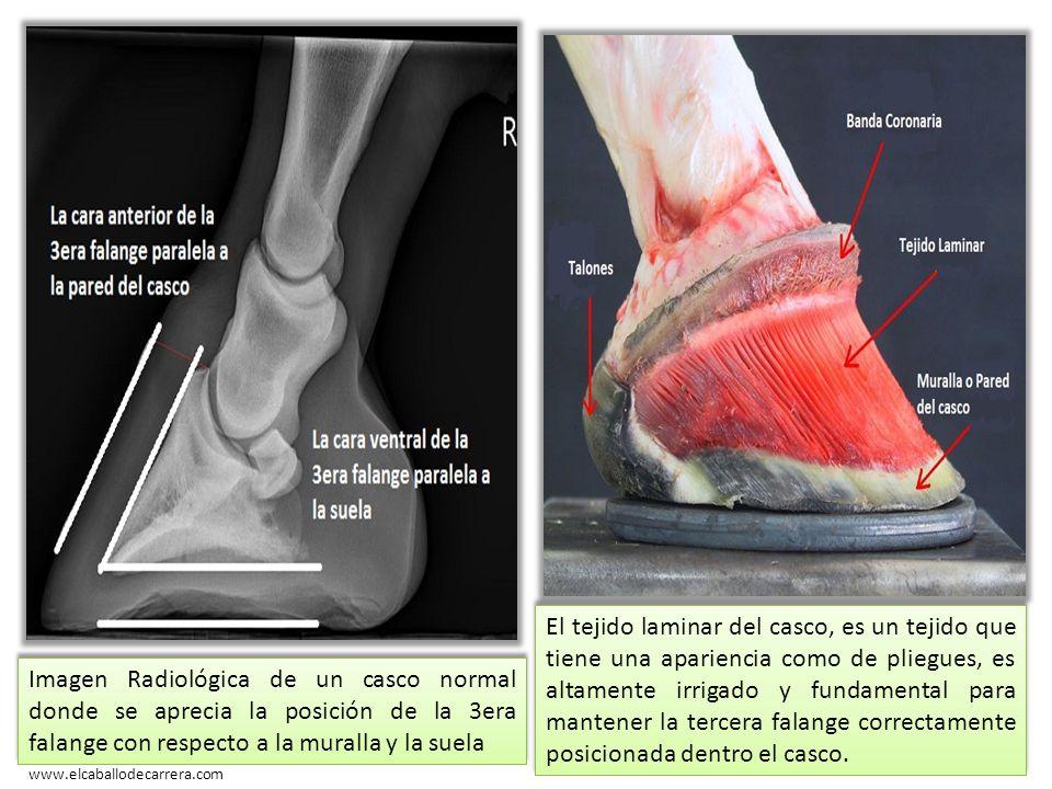 Asombroso Anatomía Casco De Caballo Motivo - Imágenes de Anatomía ...