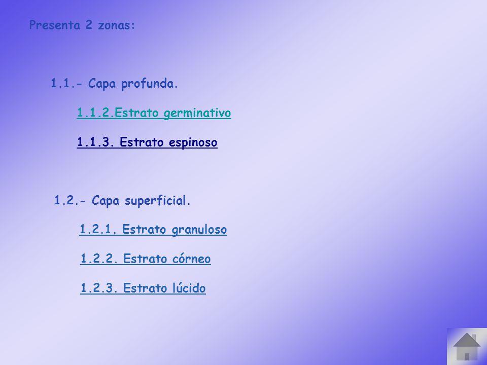 Presenta 2 zonas: 1.1.- Capa profunda. 1.1.2.Estrato germinativo. 1.1.3. Estrato espinoso. 1.2.- Capa superficial.
