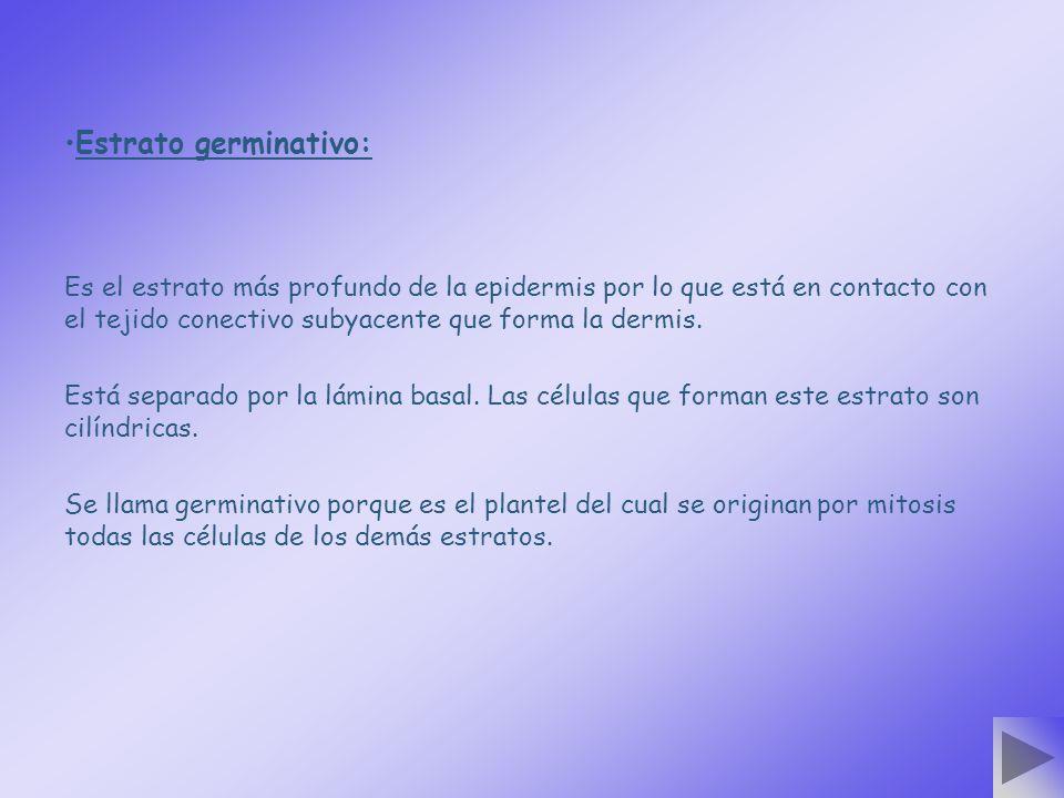 Estrato germinativo: Es el estrato más profundo de la epidermis por lo que está en contacto con el tejido conectivo subyacente que forma la dermis.