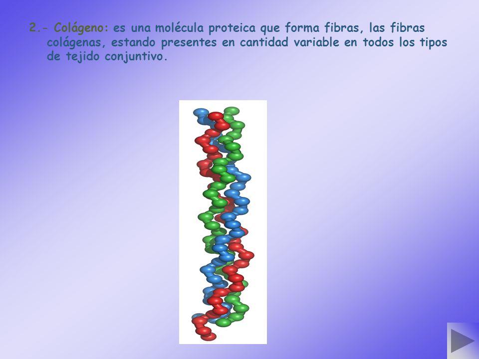 2.- Colágeno: es una molécula proteica que forma fibras, las fibras colágenas, estando presentes en cantidad variable en todos los tipos de tejido conjuntivo.