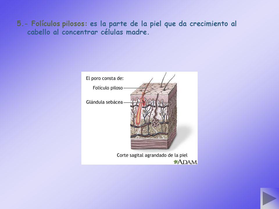 5.- Folículos pilosos: es la parte de la piel que da crecimiento al cabello al concentrar células madre.