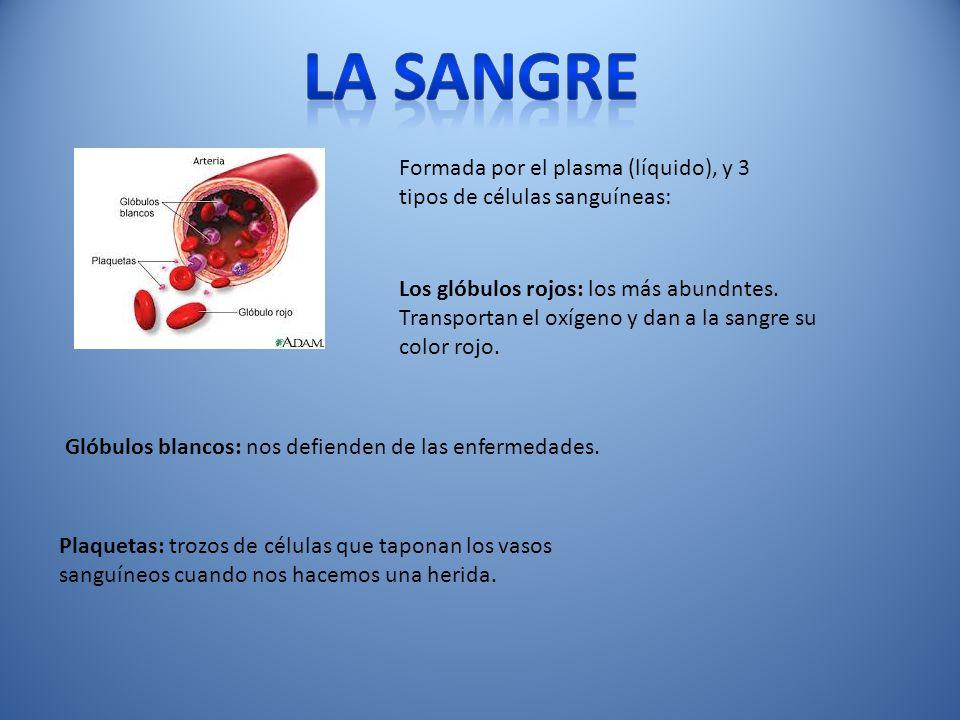 la sangre Formada por el plasma (líquido), y 3 tipos de células sanguíneas: